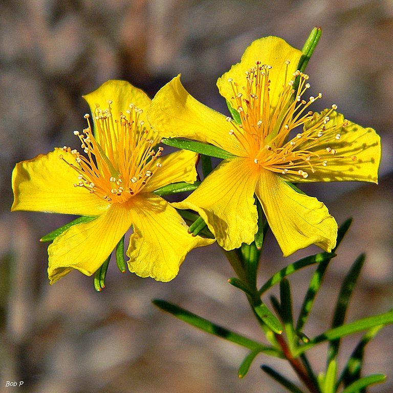 St.-Johns-Wort-plant-abloomnova.net_ What is the St. John's Wort plant?
